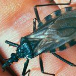 Doença de Chagas Tem Cura? Sintomas, O Que é, Tratamento e Transmissão