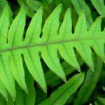 Polypodium Leucotomos - Para Que Serve, Melasma e Efeitos Colaterais
