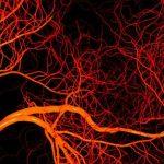 Molécula Produzida Durante o Jejum Tem Efeito Anti-Envelhecimento no Sistema Vascular