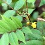 Chá de Fedegoso - O Que é, Para Que Serve e Como Fazer