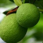 6 Benefícios da Fruta-Pão - Para Que Serve e Propriedades