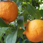 Bitter Orange Emagrece? Para Que Serve? Benefícios e Como Tomar