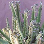 Benefícios do Aranto - Para que serve e como usar essa planta medicinal!