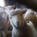 Leite de ovelha tem lactose? Benefícios e dicas!