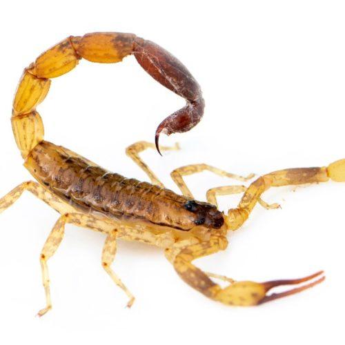 picada de escorpião