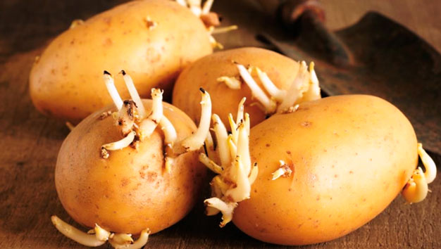 batatas germinadas